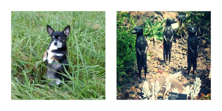 Meercat Chihuahua